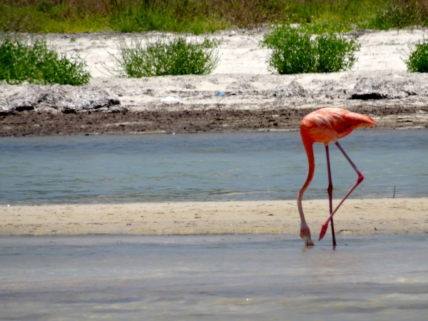Flamingo on Holbox