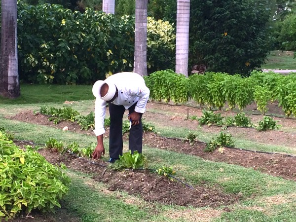 Half Moon chef in herb garden