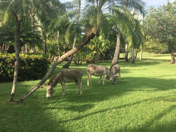 Caneel Bay donkeys